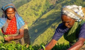 LADIES-PICKING-TEA-IN-SRI-LANKAS-HILL-COUNTRY-copy2-700x473 2