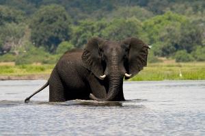 Imbabala_cruise_elephant
