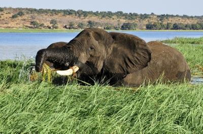 elephant-botswana-pixabay